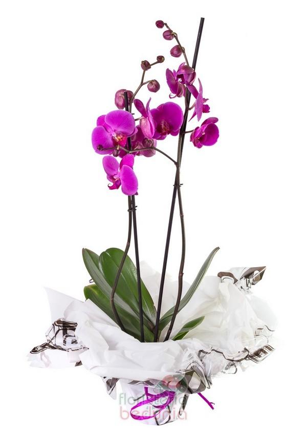 Orquídea Phalaenopsis Lila