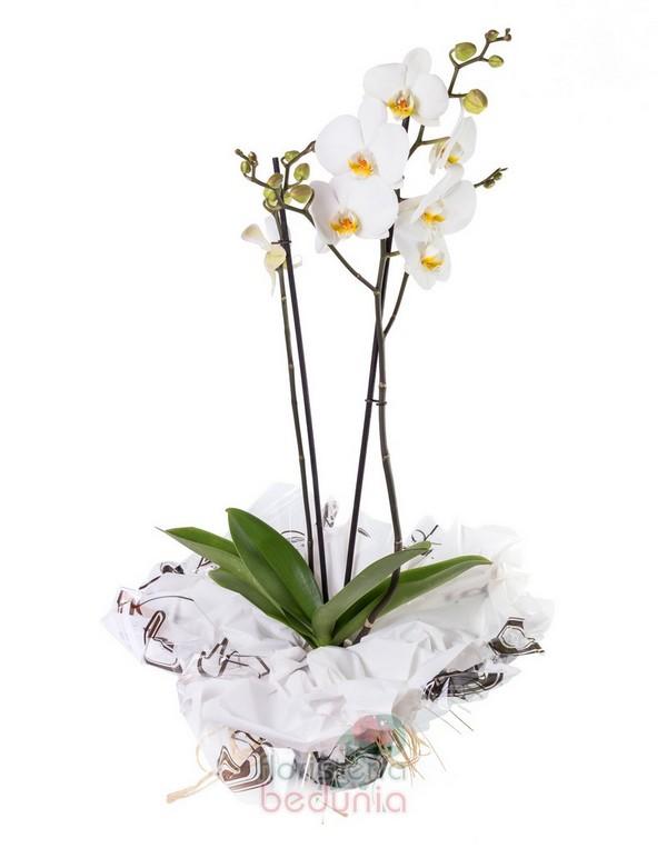 Orquídea Phalaenopsis Blanca