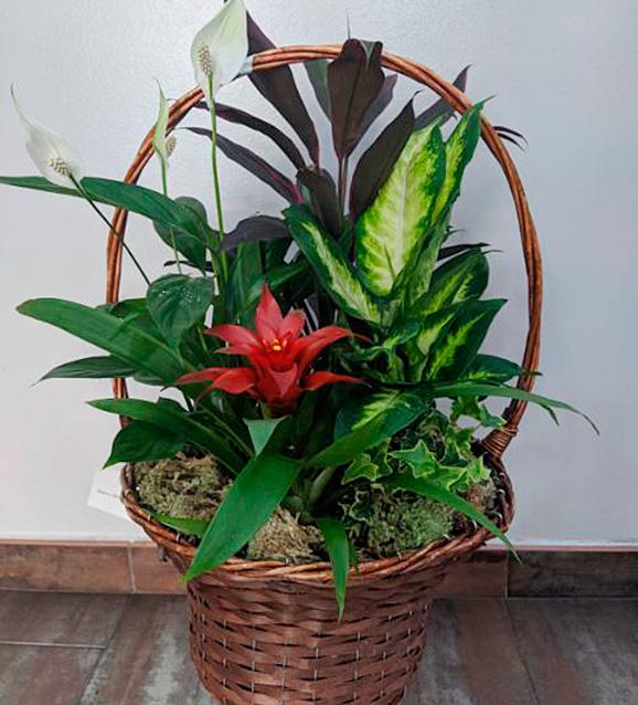 Cesta de plantas variadas excelsior