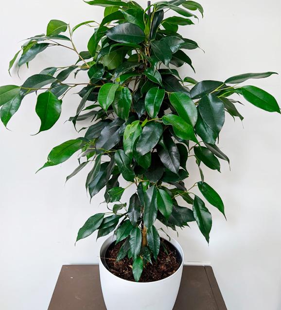 Ficus Danielle 70 cm.