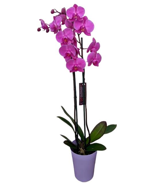 Orquídea phalenopsis dos varas