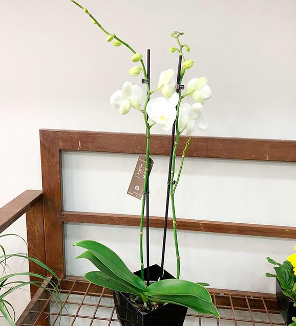 Orquídea phalenopsis: blanco, lila o mixto 2 varas