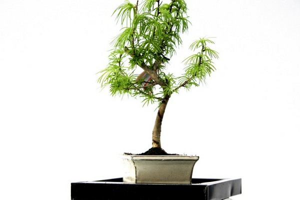 Bonsai (II)