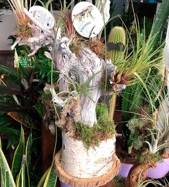 Tillandsia en tronco